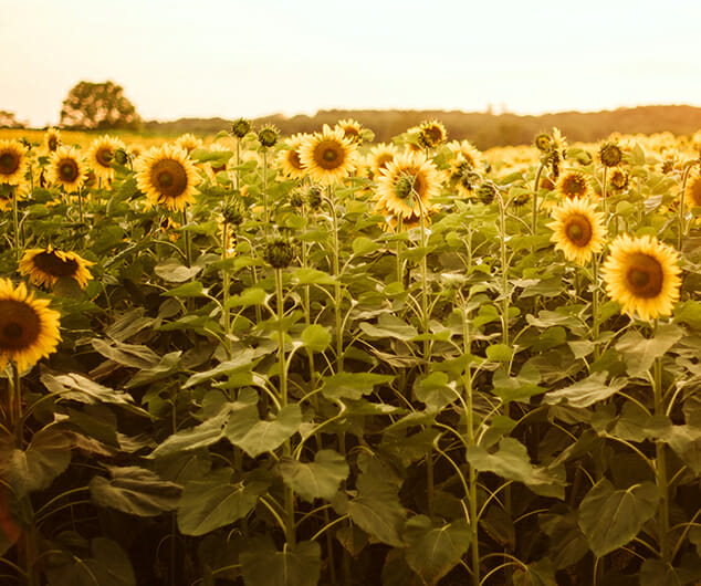 A patch of sunflowers in a large sunlit field